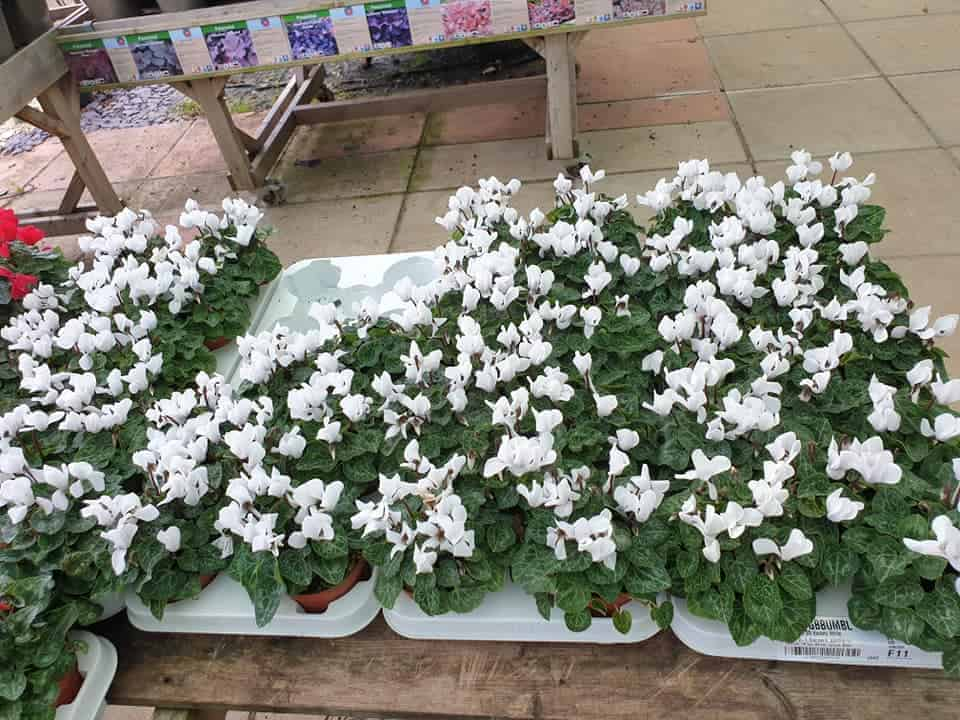 White Cyclamen, autumn & winter plants at Bumbles, September 2020