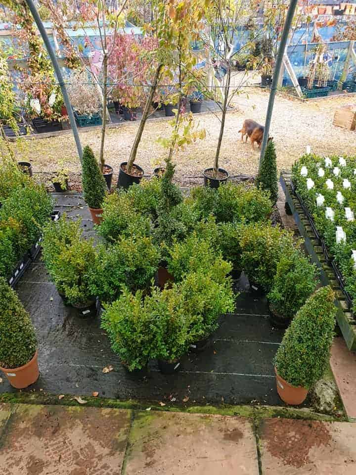 Boxwood - box hedging- at Bumbles Plant Centre