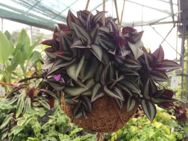 Tradescantia Zebrina 'Wandering Jew' trailing houseplant available at Bumbles