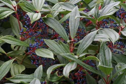 All about Viburnum davidii shrub at Bumbles Plant Centre