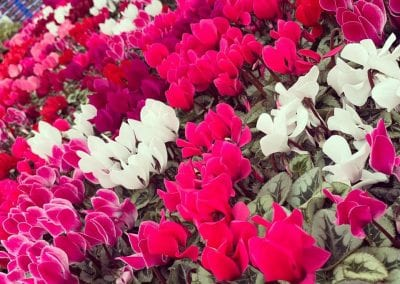 Cyclamen and Cyclamen Coum available at Bumbles Plant Centre