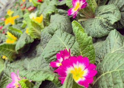 Pretty primulas for autumn and winter colour at Bumbles