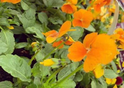 Violas for autumn and winter colour available at Bumbles