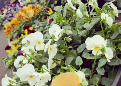 A variety of Violas for autumn and winter colour available at Bumbles