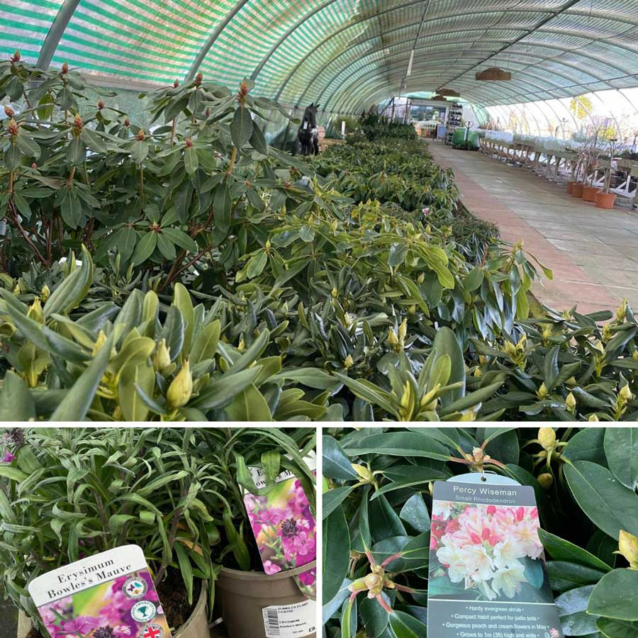 Rhododendrons in the Polytunnel at Bumbles, February 2021