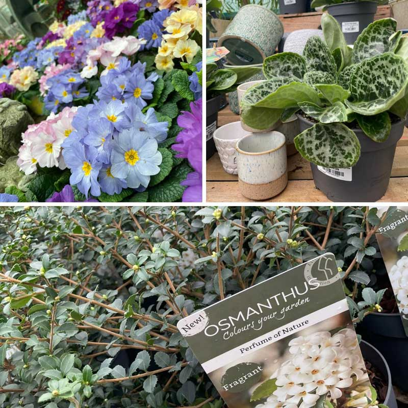 Osmanthus and Primulas at Bumbles, February 2021