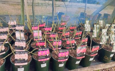 Roses for winter planting are in!