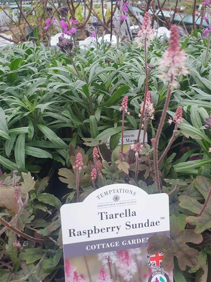 Tiarella Raspberry Sundae, cottage garden plants at Bumbles, January2021